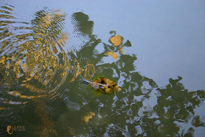 A fish hides in the shadow and reflection of a sea grape.