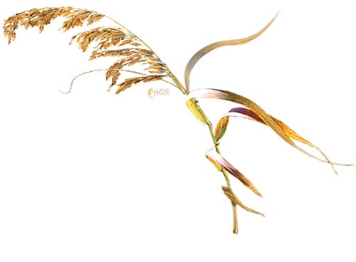 Single sea oat stalk.
