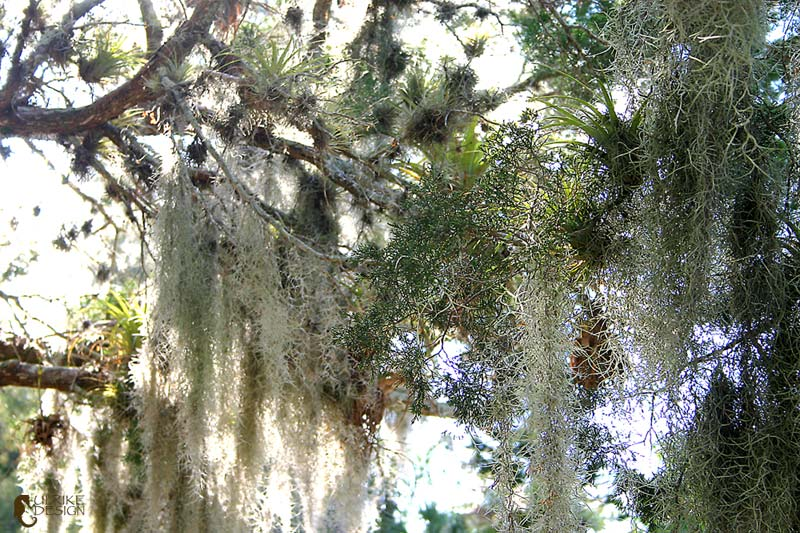 Spanish moss and other tillandsias in a cedar tree.
