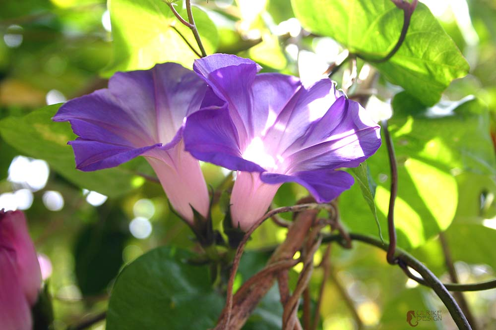 A Morning Glory in its full glory.